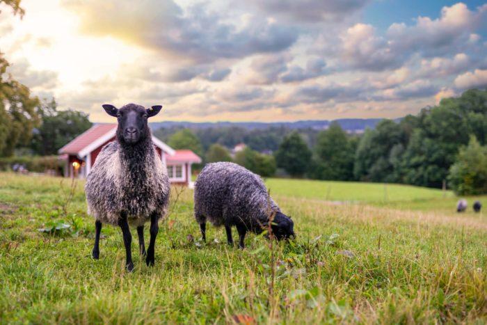 På Ängens Gård kan du köpa lammkött och lammskinn.